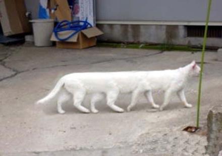 豪华加长型林肯猫